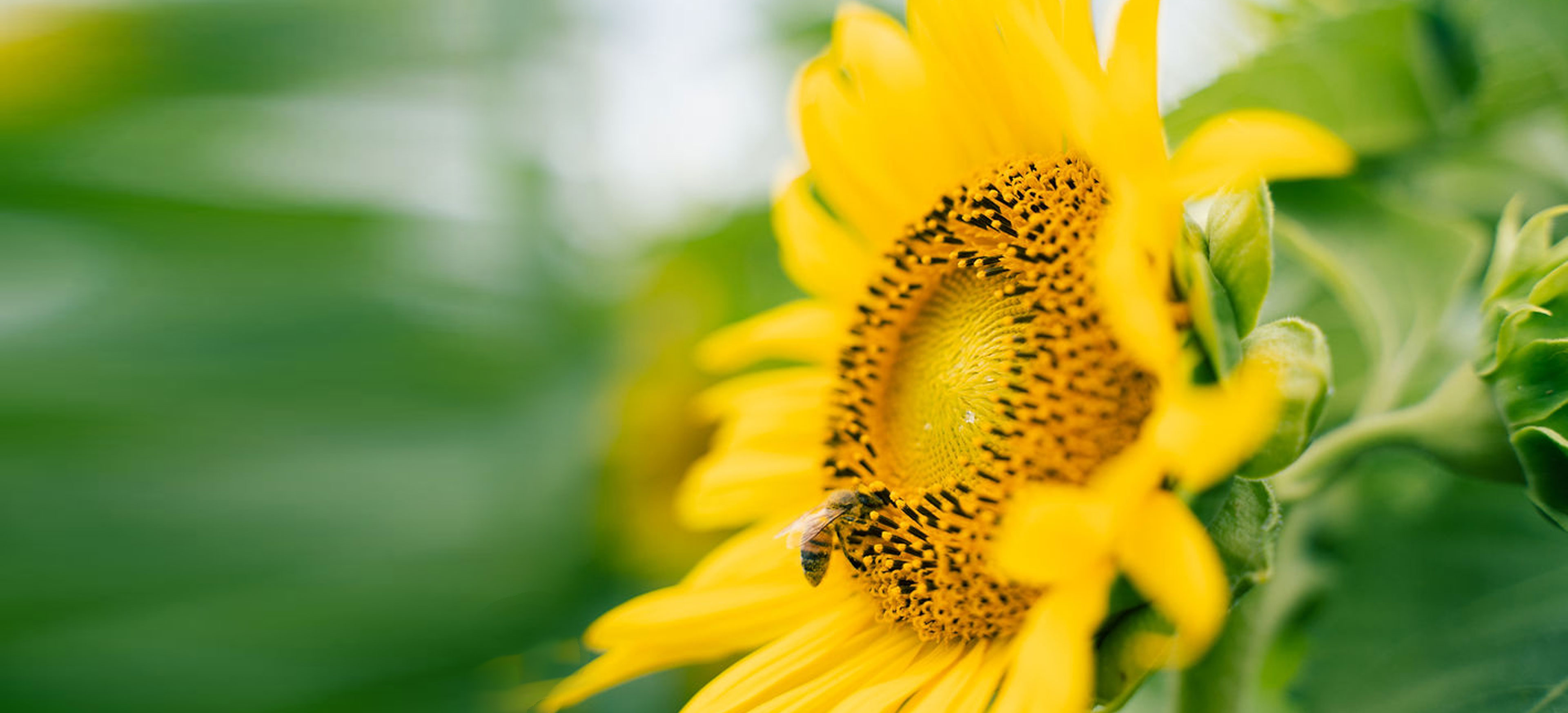 sunflower-header